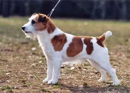 10+ Anjing samoyed jual terupdate