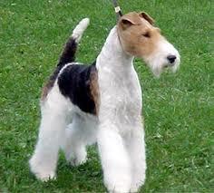37++ Anjing fox terrier dijual terupdate