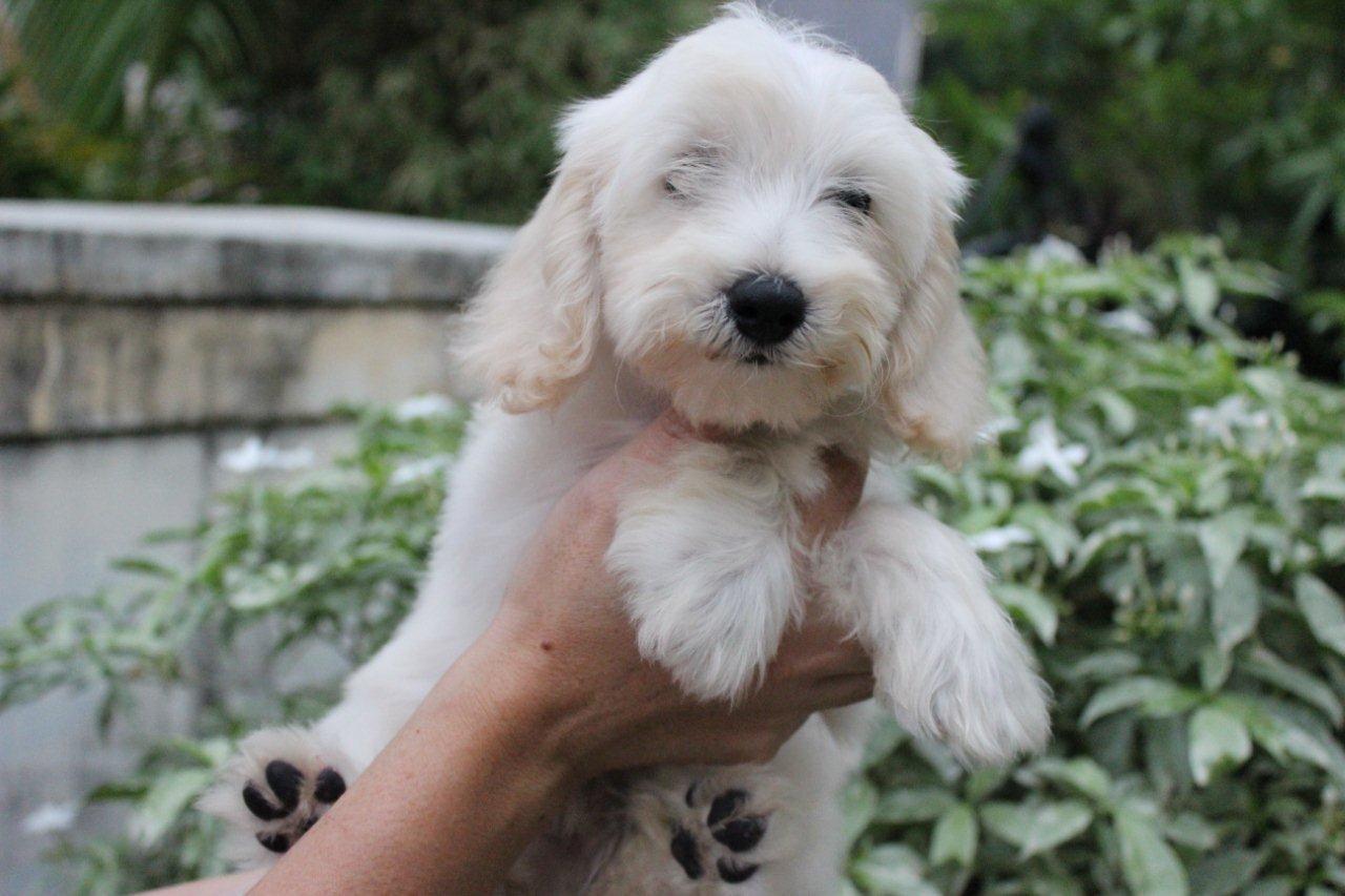 jual anjing maltese jual anjing com