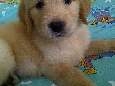 Jual puppy golden retriever